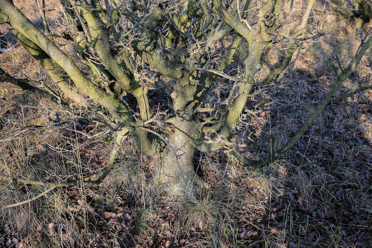 Yamadori – Bäume sammeln in der Natur.