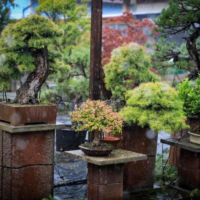 Bonsaigarten von Little Bonsaiworld