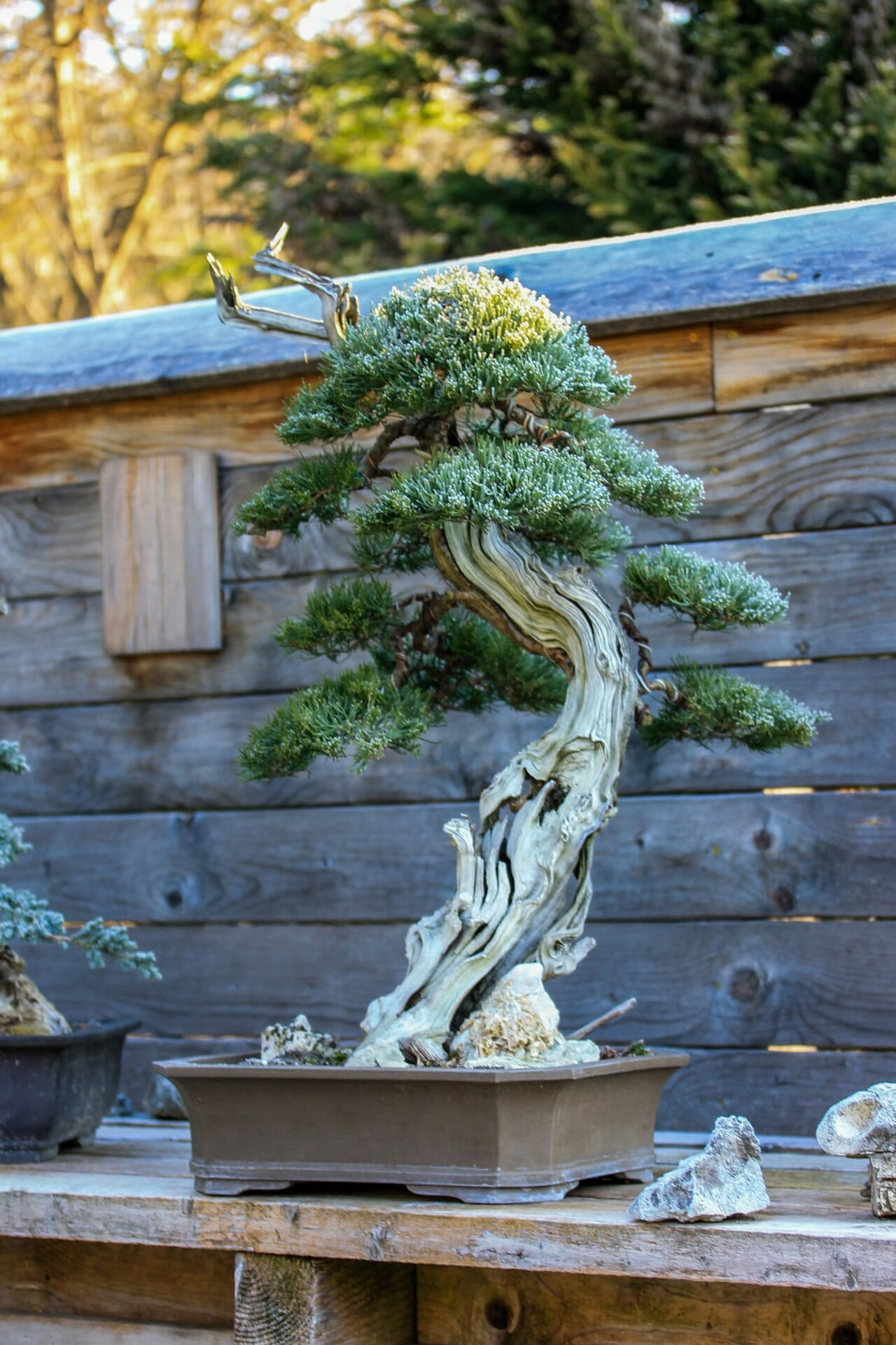 Beispiel für einen alten Tanuki (Wacholder Juniperus chinensis), dieser Baum ist seit 10 Jahren in Pflege.