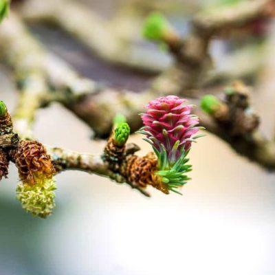 Bonsai-lärchenblüte-im-März