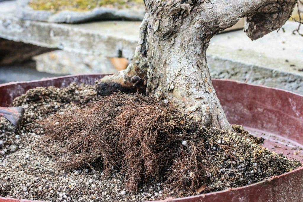 Die Wurzeln von einem  Cornus mas Bonsai