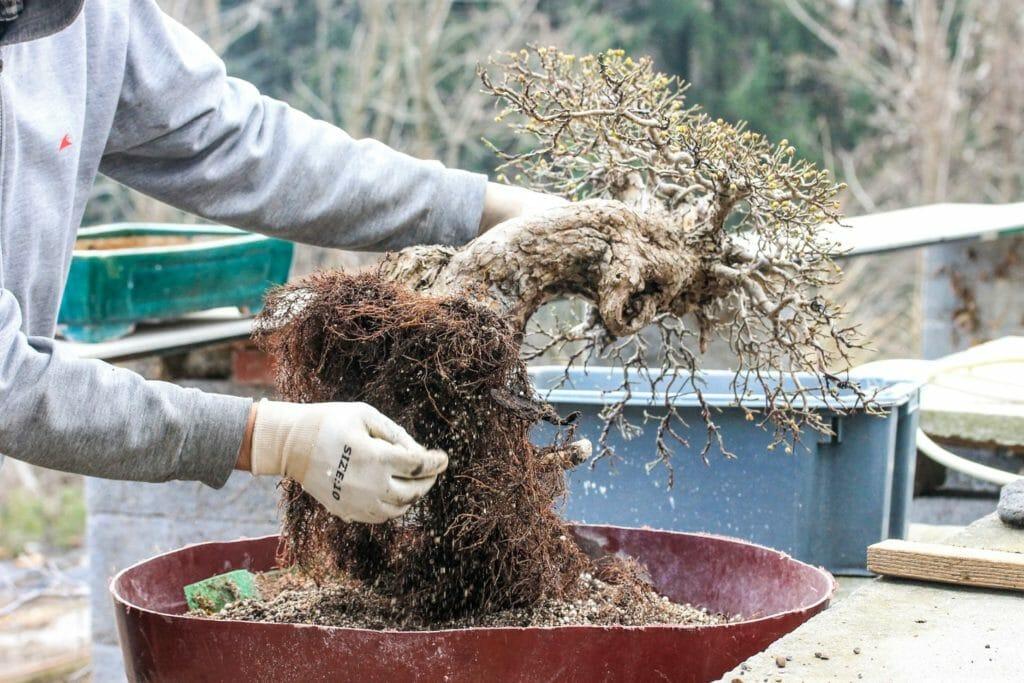 Reinigen der Wurzeln bei einem Cornus mas Bonsai