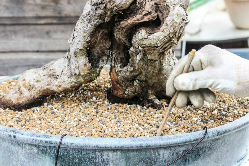 Die Erde wird bei einem Cornus mas Bonsai verdichtet