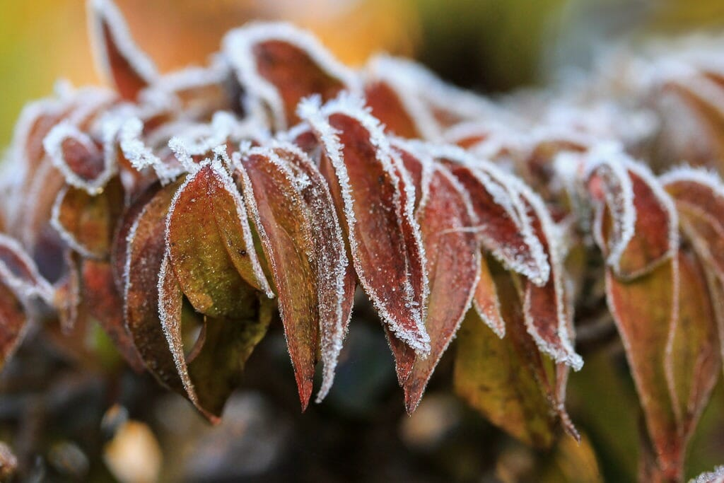 Bonsai Blatt eines Cornus mas im Winter