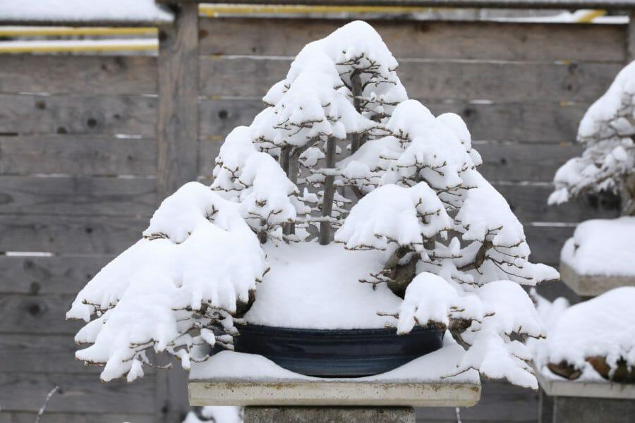 Bonsai-Überwinterung (Winterpflege)
