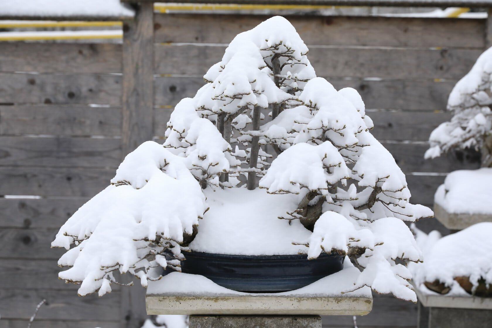 Hainbuchen Bonsai im Winter.