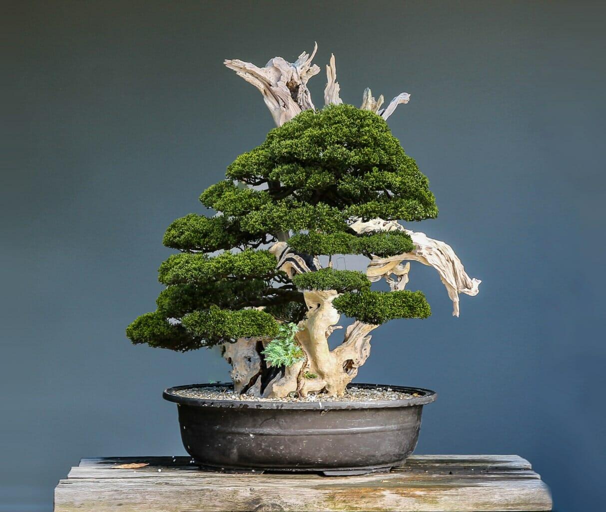 Wacholder Tanuki Bonsai von Josef Burschl