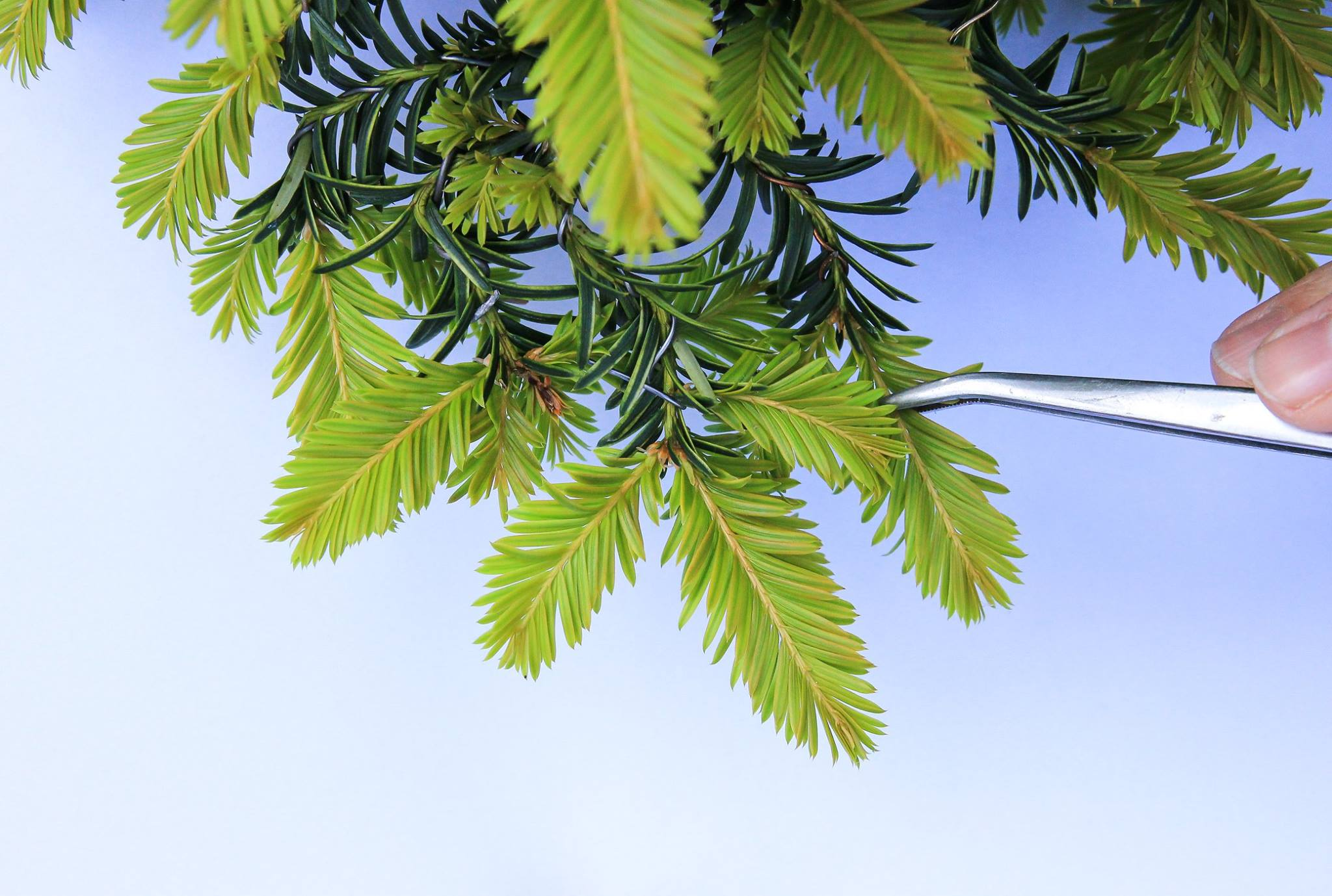 Pinzieren eines Eiben Bonsai Taxus Picata