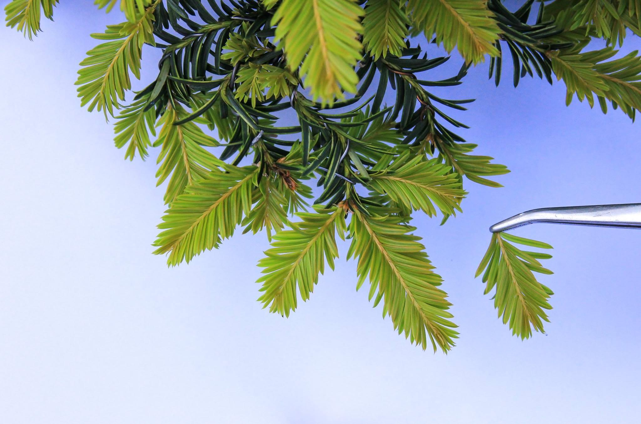 Bonsai Pinzieren eines Eiben Taxus Picata