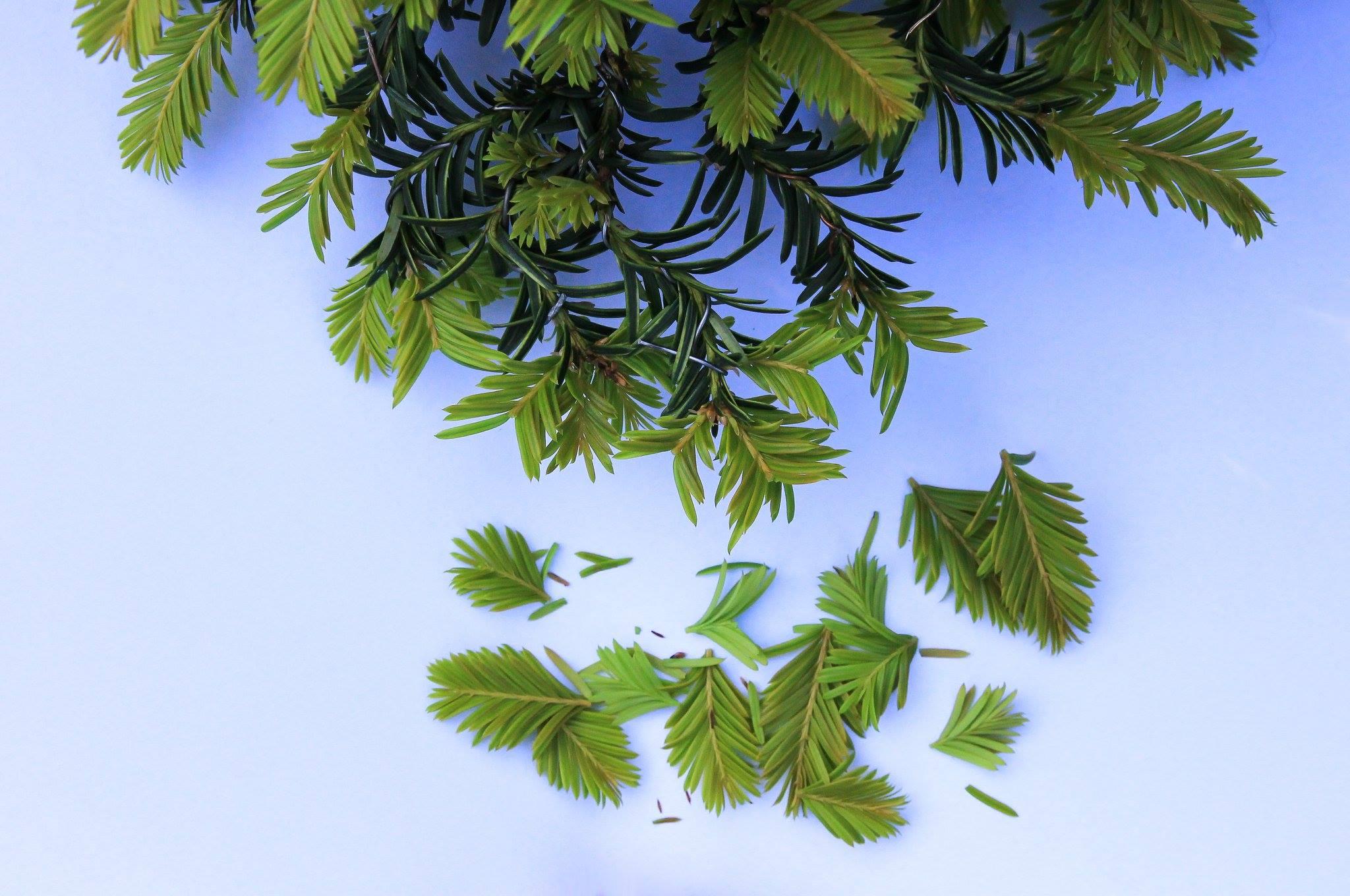 Pinzieren eines Eiben Bonsai Taxus Picata Josef Rauscher