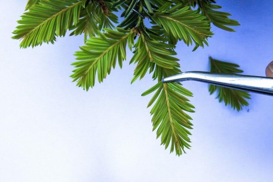 Pflegetipps für die Eibe (Taxus baccata)
