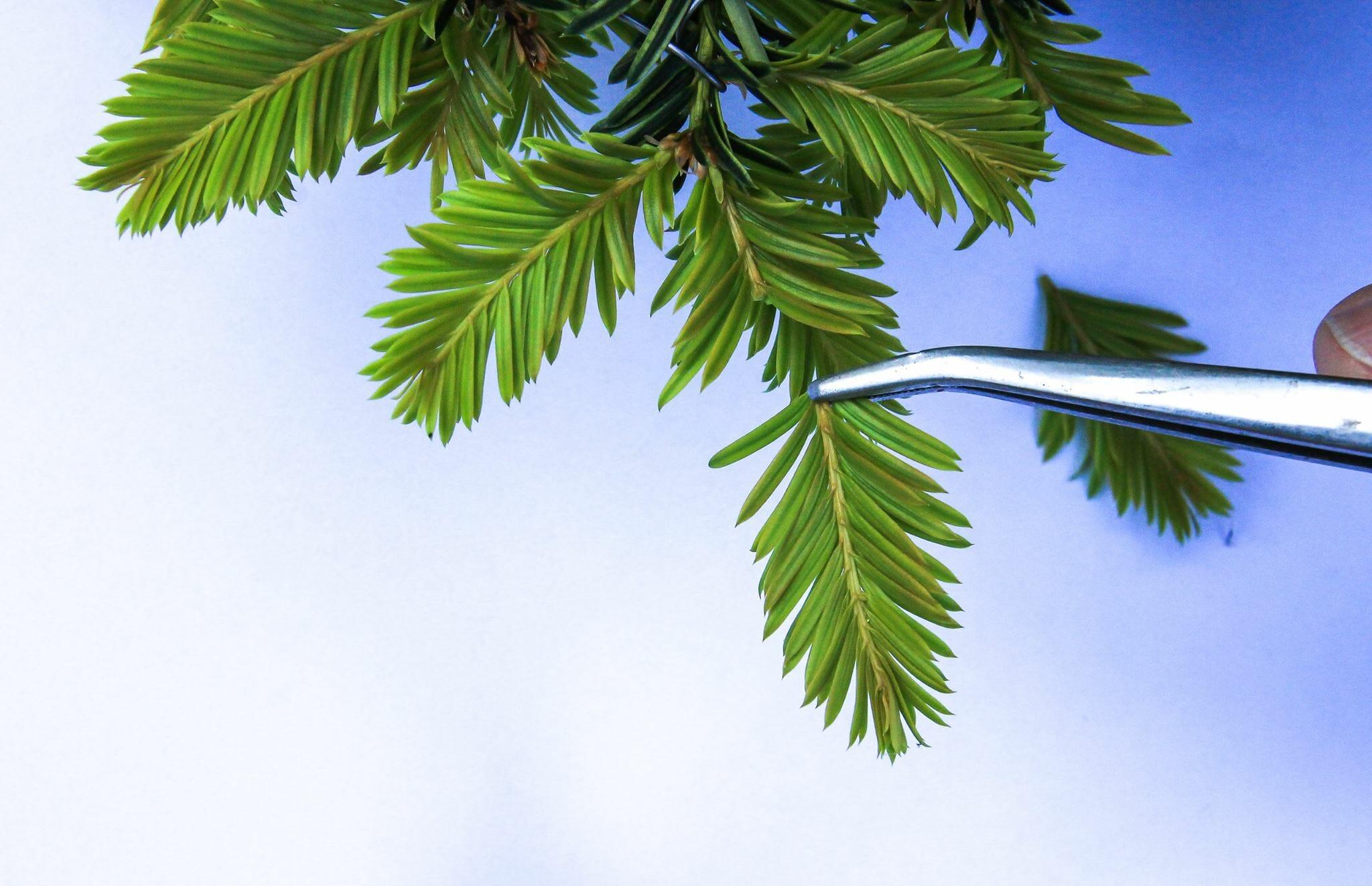 Bonsai Pinzieren eines Eiben Bonsai Taxus Picata Josef Burschl