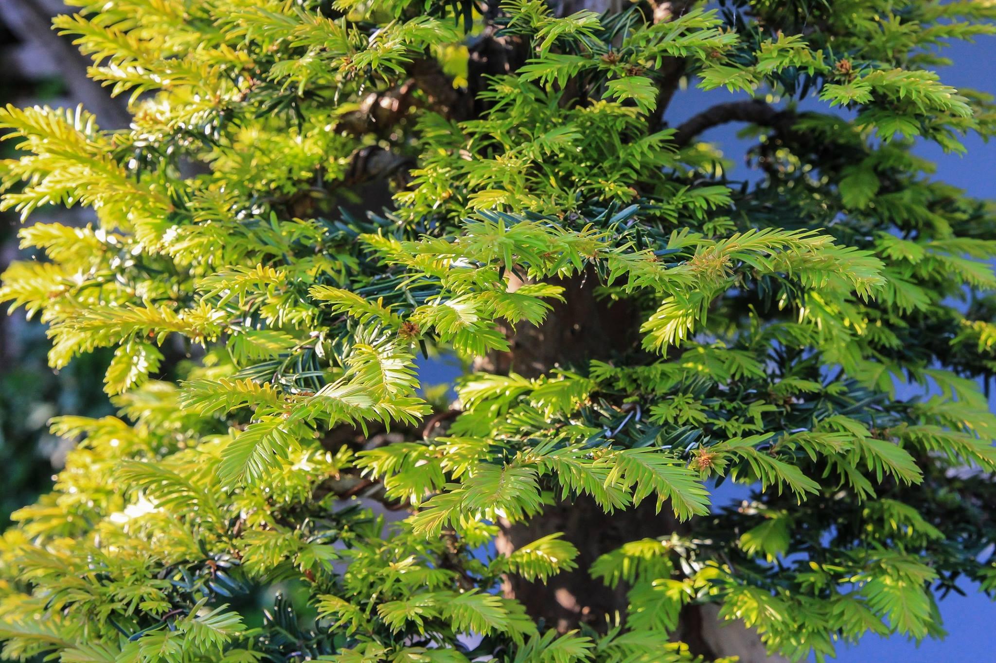 Bonsai Pflegetipps für die Eibe Taxus