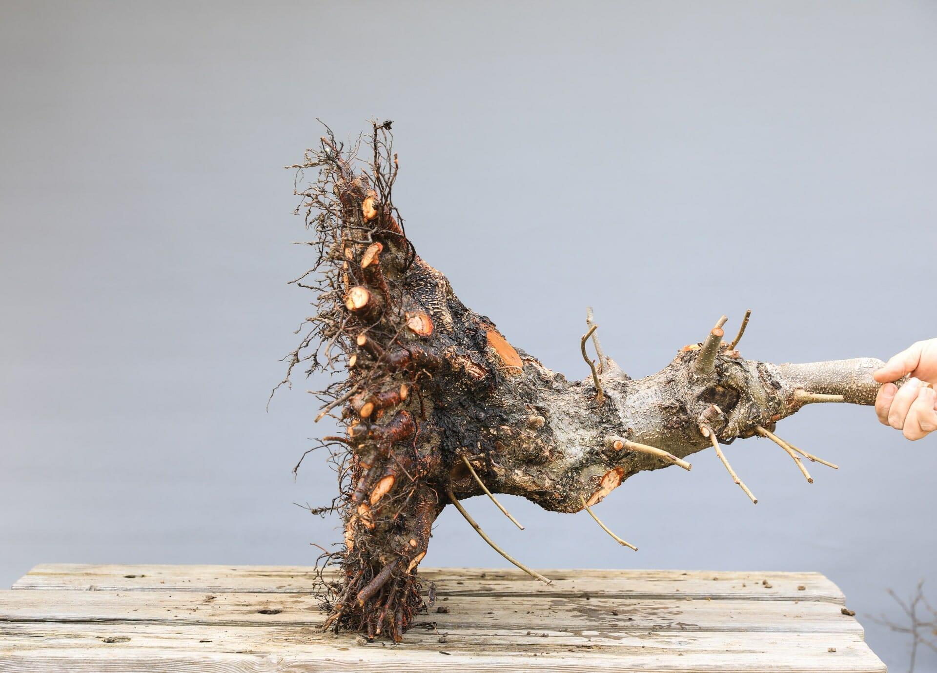Bonsai Schwarzerle – von Josef Burschl