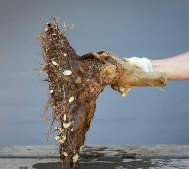 Aus der Bonsai-Baumschule: So verbessert man den Wurzelansatz