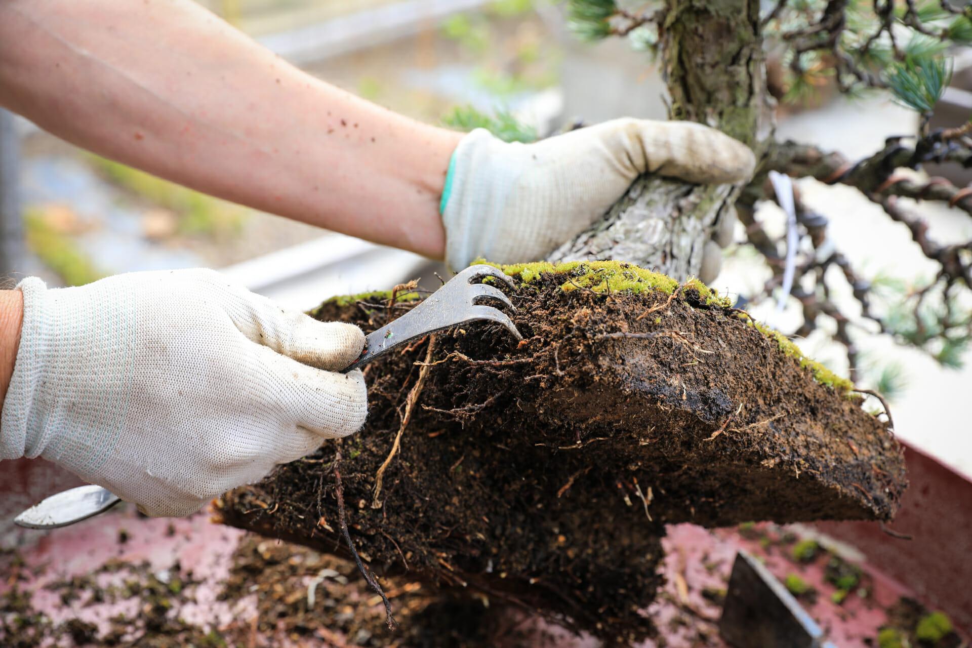 Wurzelballen reinigen bei einer Mädchenkiefer (Pinus parviflora)