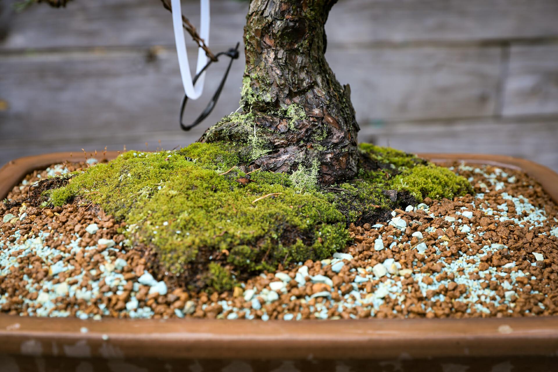 Umgetopfter Bonsai Mädchenkiefer (Pinus parviflora)