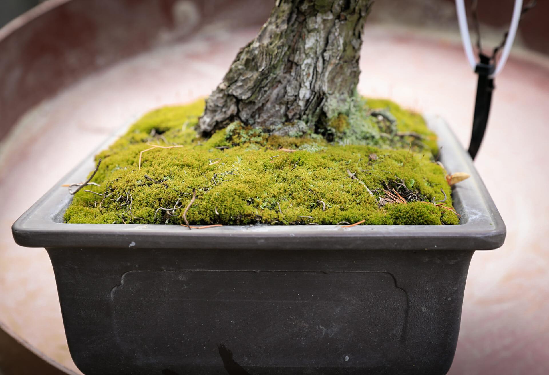 Bonsai umtopfen Mädchenkiefer (Pinus parviflora)