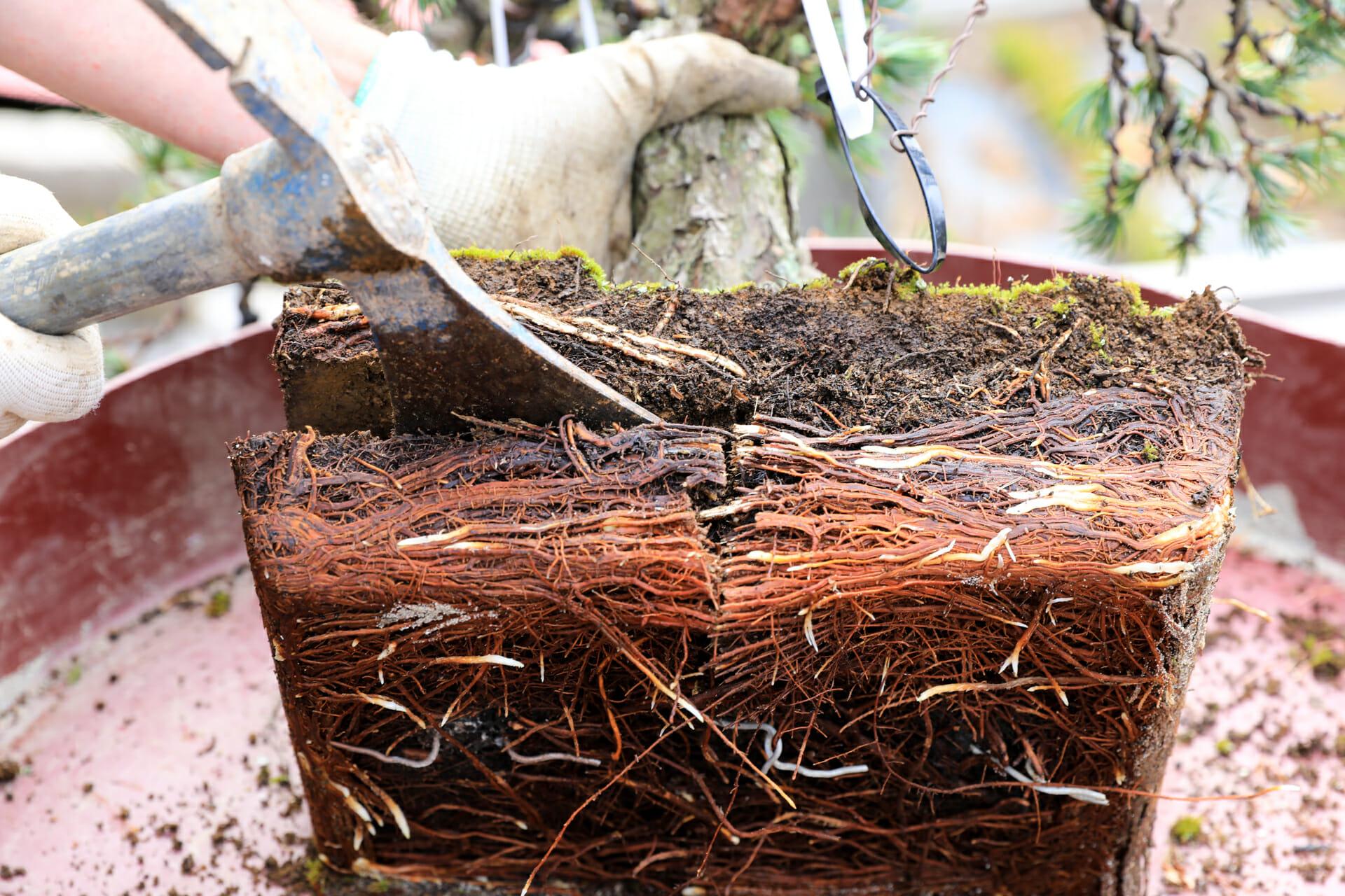 Die Wurzeln bearbeiten bei einer Mädchenkiefer (Pinus parviflora)
