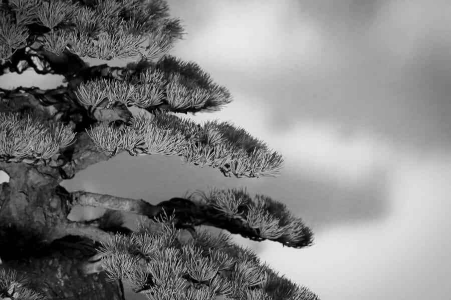 Der Kieferschnitt nach japanischer Tradition – verschiedene Techniken und deren Ergebnis