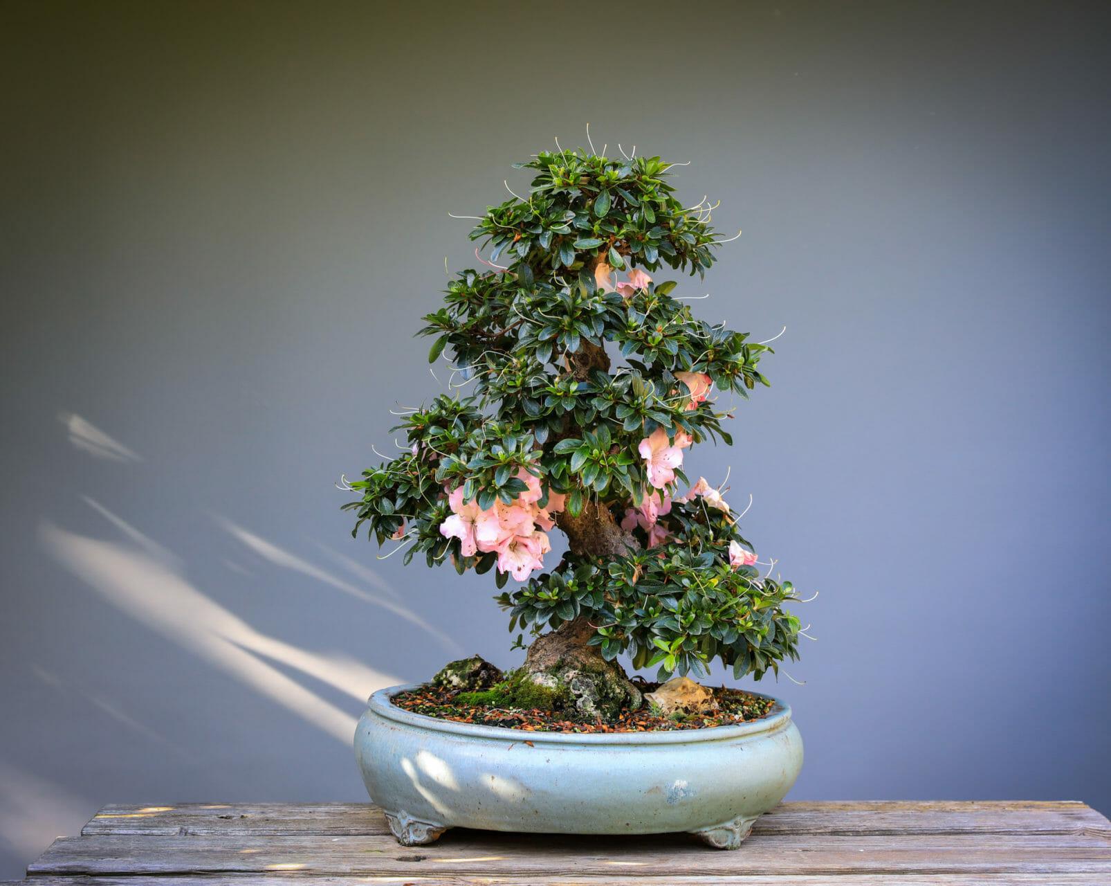Azalee nach der Blüte, <bonsai von Josef Rauscher