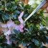 Die Azalea – richtige Pflege nach der Blüte