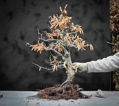 Die Rotbuche (Fagus sylvatica)