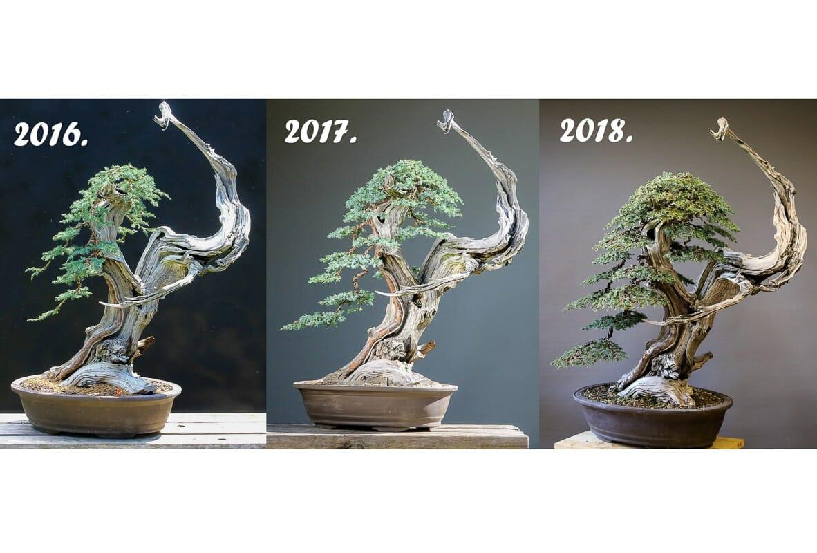 Geschichte eines Tanuki Bonsai von 2016 bis 2018