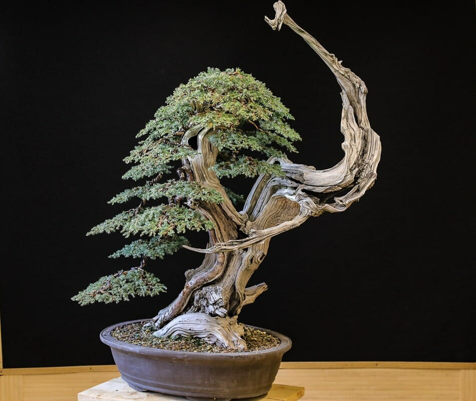 Tanuki Bonsai Gallery
