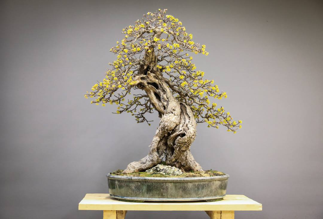Top 10: Der schönsten Bonsai Bäume