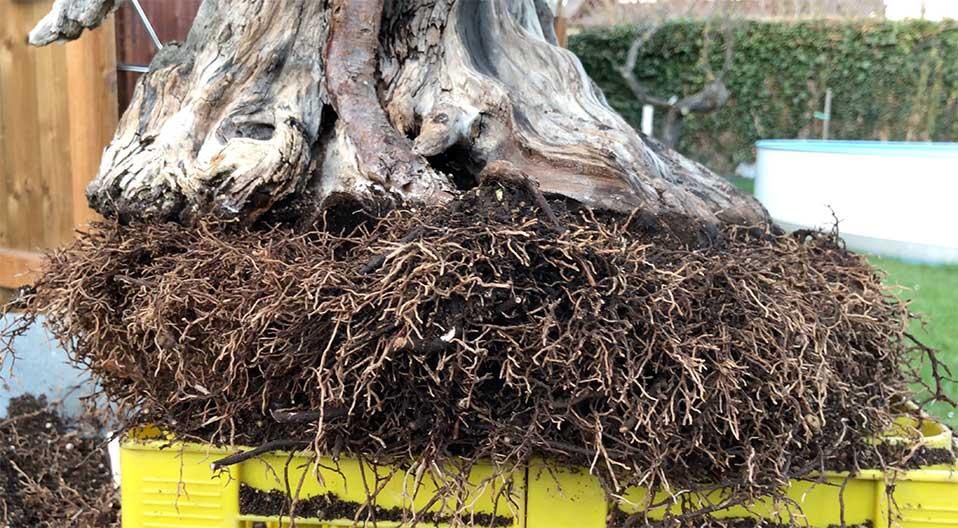 Die Wurzeln von einem Eiben Bonsai (Taxus cuspidata)