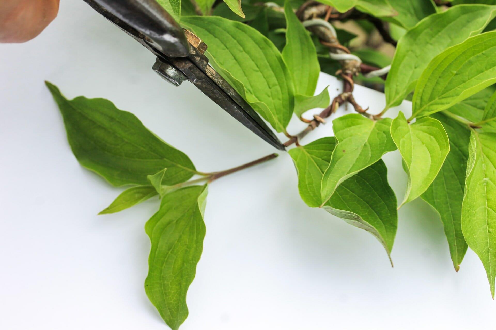Bonsai Blattschnitt bei einer Kornelkirsche: Entlauben um die Blattgröße zu reduzieren Abbildung 2