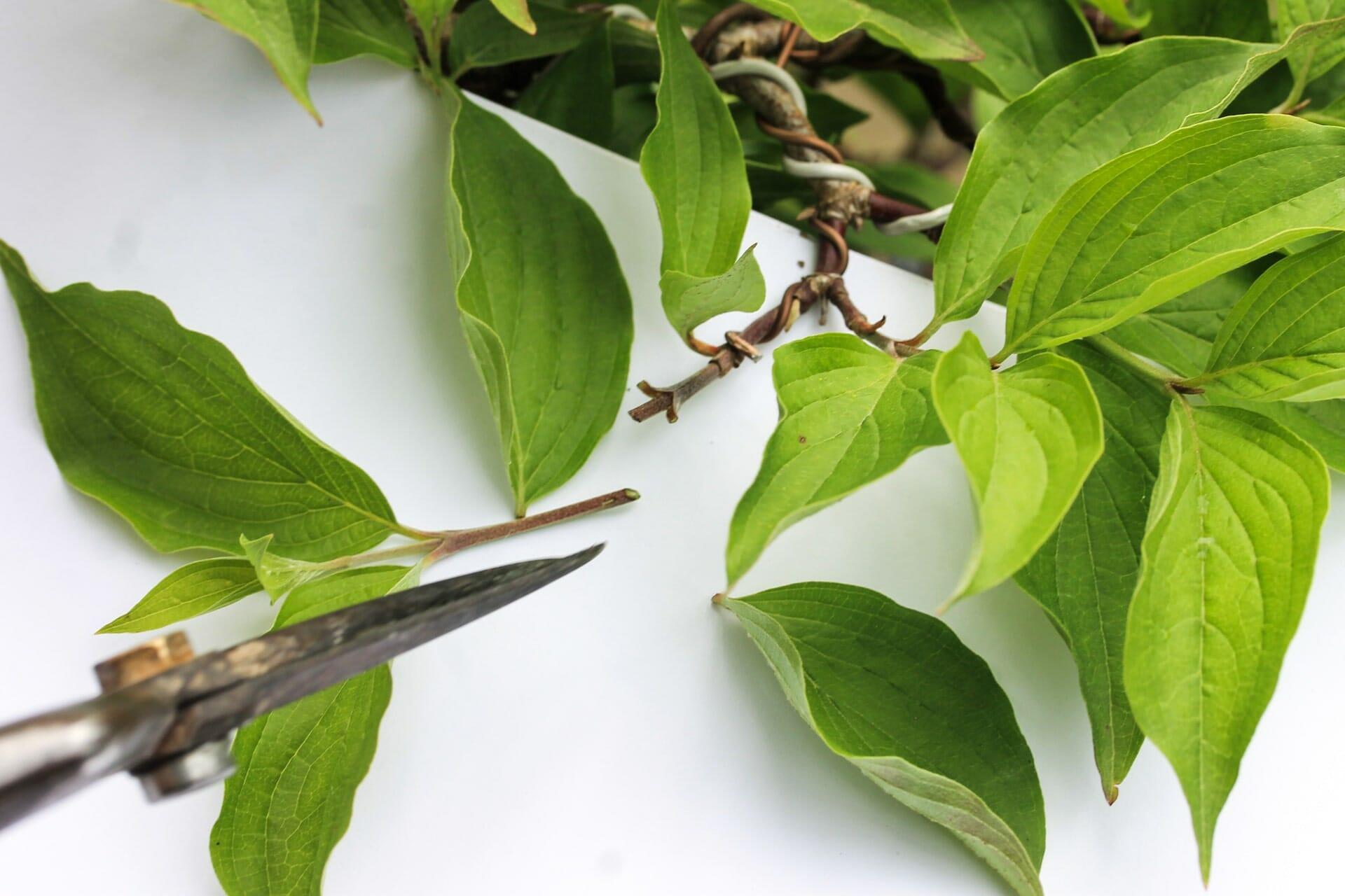 Bonsai Blattschnitt bei einer Kornelkirsche: Entlauben um die Blattgröße zu reduzieren Abbildung 3