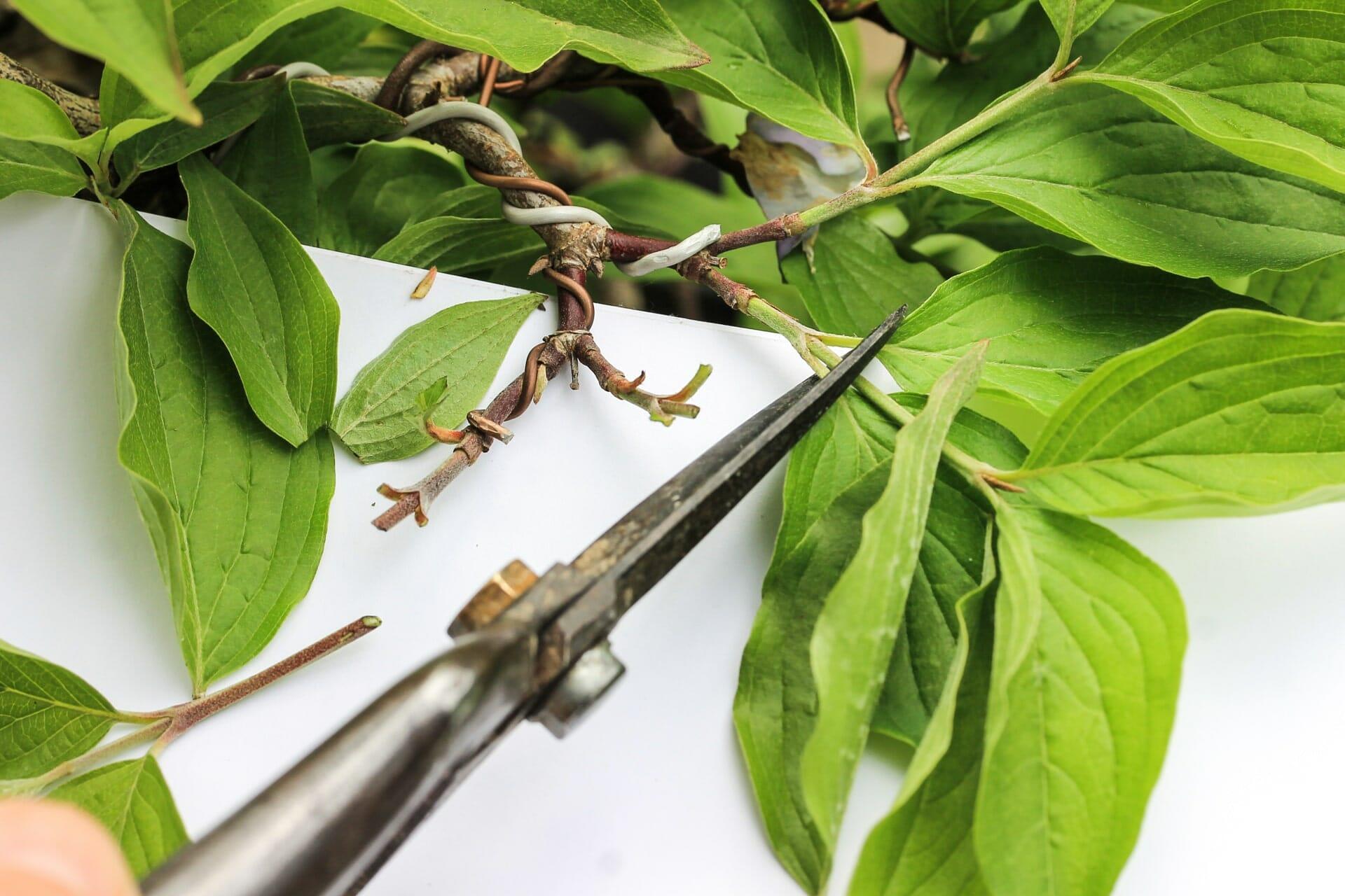 Bonsai Blattschnitt bei einer Kornelkirsche: Entlauben um die Blattgröße zu reduzieren Abbildung 4