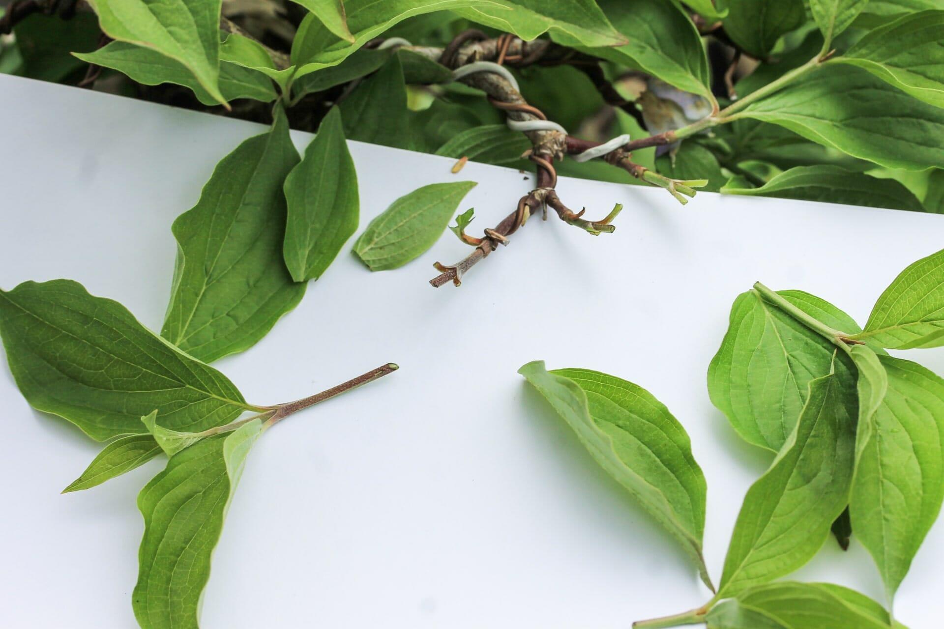 Bonsai Blattschnitt bei einer Kornelkirsche: Entlauben um die Blattgröße zu reduzieren Abbildung 5