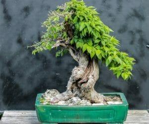 Bonsai Blattschnitt bei einer Kornelkirsche: Entlauben um die Blattgröße zu reduzieren