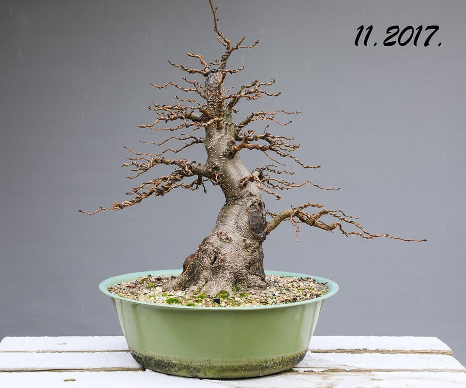 Bonsai Schwarzerle - Alnus glutinosa Gestaltung Beispiel (Baumgeschichte) 2017