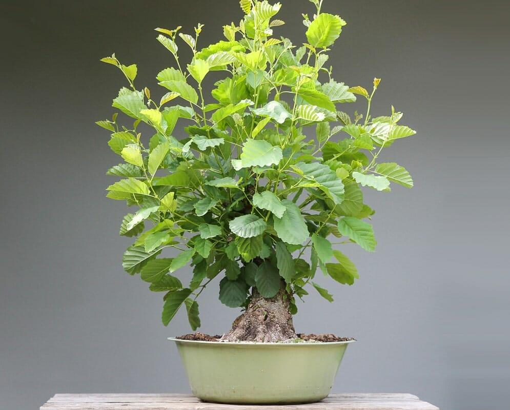 Bonsai Schwarzerle - Alnus glutinosa Gestaltung Beispiel (Baumgeschichte)