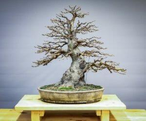 Bonsai Schwarzerle – Alnus glutinosa Gestaltungsbeispiel von Josef Burschl