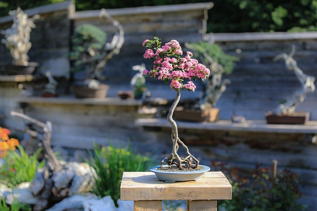 Bonsai Weißdorn Okulieren die besondere Form der Pflanzenverdelung. Abbildung 16