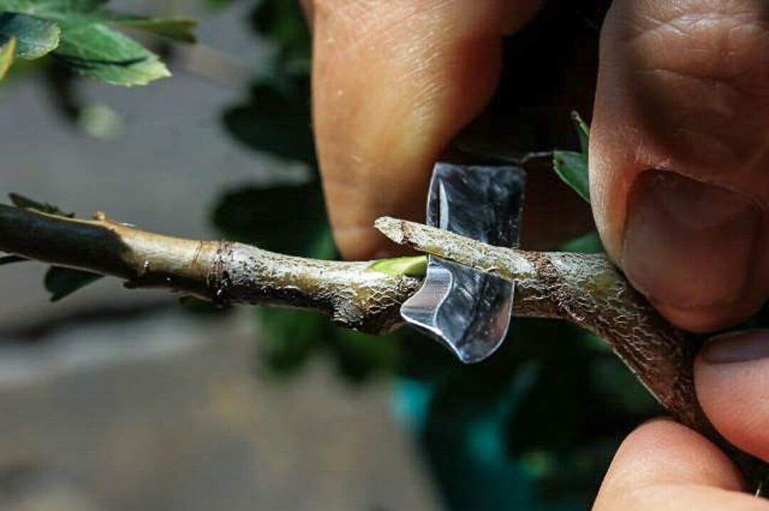 Bonsai Weißdorn Okulieren die besondere Form der Pflanzenverdelung. Abbildung 5