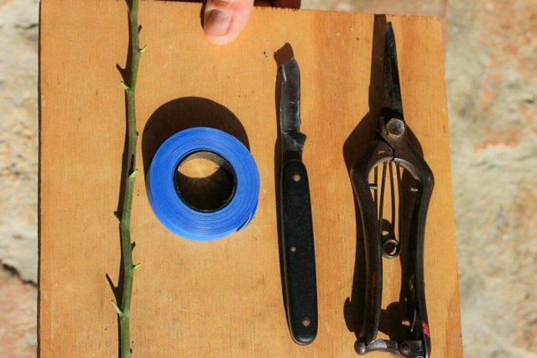 Bonsai Weißdorn Okulieren die besondere Form der Pflanzenverdelung. Abbildung 1