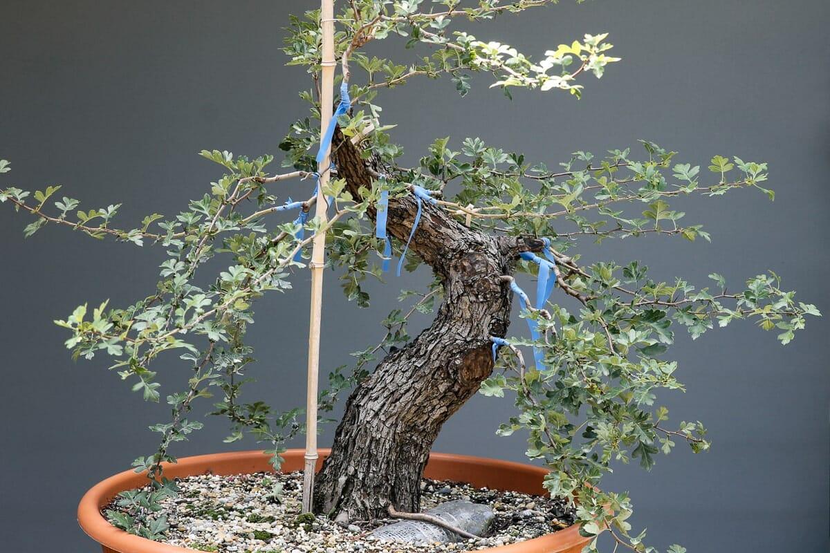 Bonsai Weißdorn Okulieren die besondere Form der Pflanzenverdelung. Abbildung 15