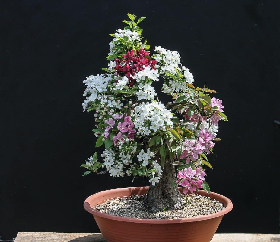 Bonsai Weißdorn Okulieren die besondere Form der Pflanzenverdelung. Abbildung 18