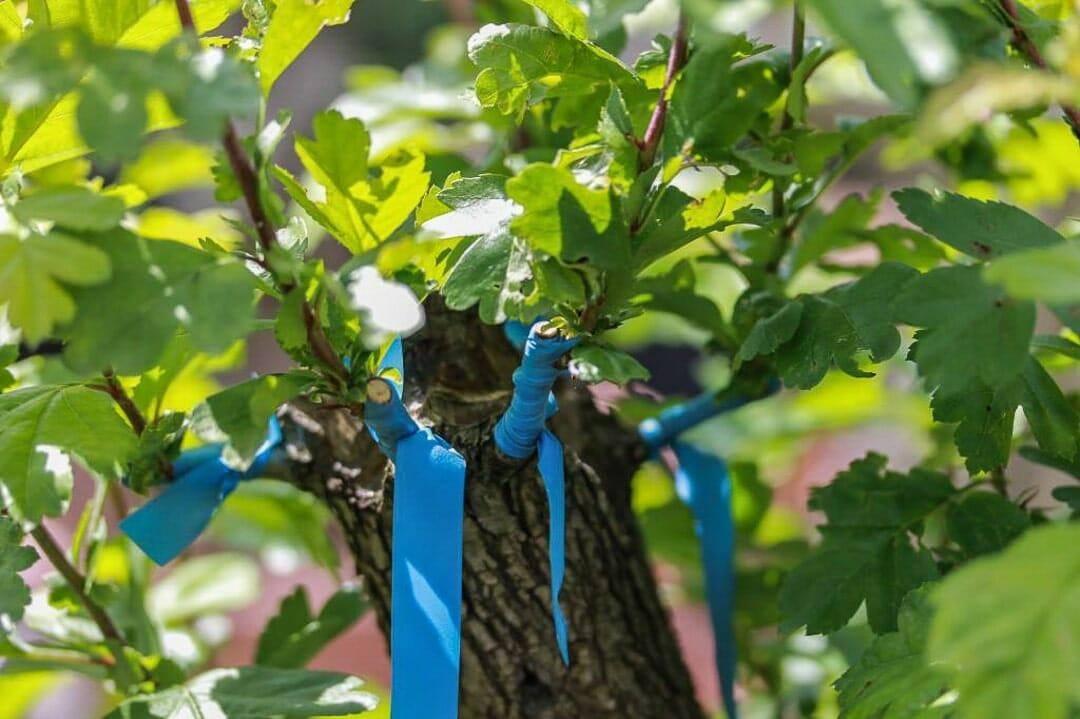 Bonsai Weißdorn Okulieren die besondere Form der Pflanzenverdelung. Abbildung 14