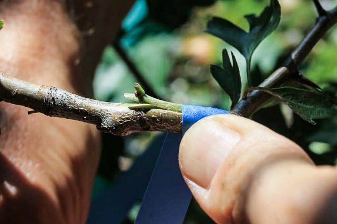 Bonsai Weißdorn Okulieren die besondere Form der Pflanzenverdelung. Abbildung 10