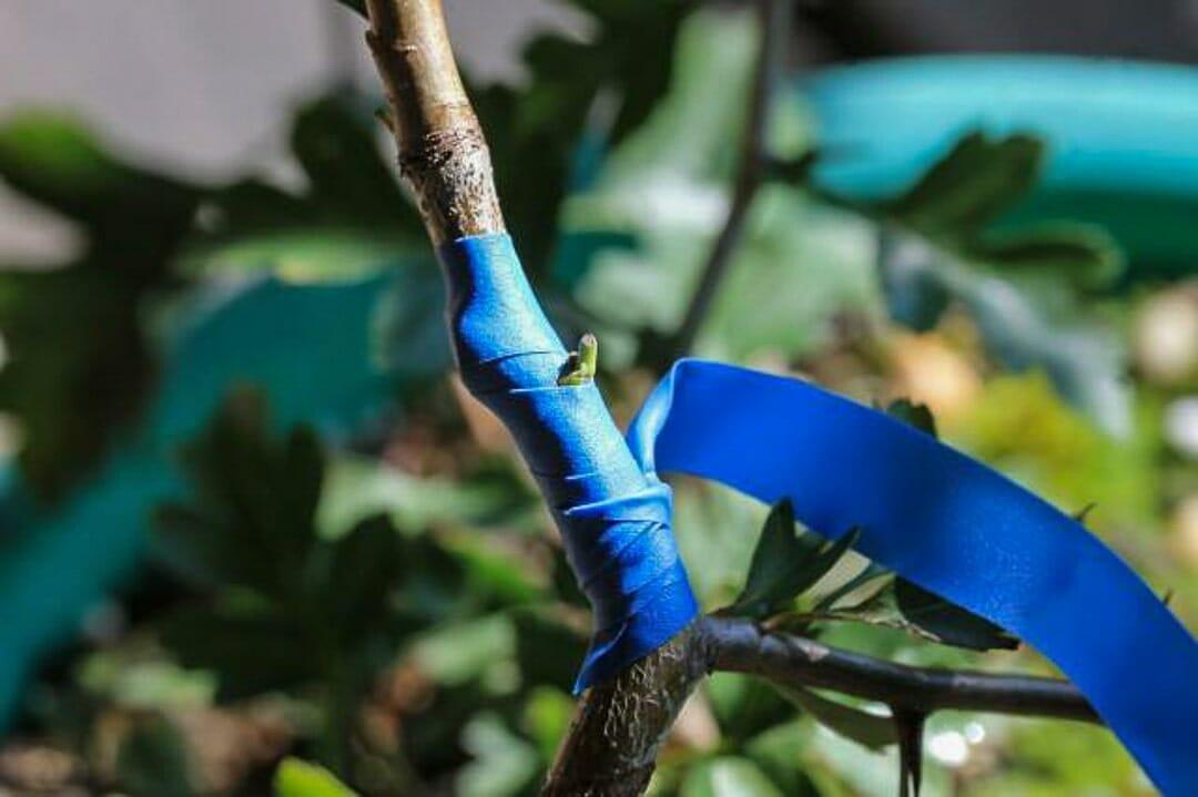 Bonsai Weißdorn Okulieren die besondere Form der Pflanzenverdelung. Abbildung 12