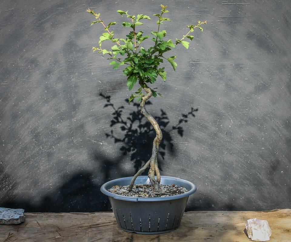 Bonsai Yamadori Rotdorn 'Paul's Scarlet