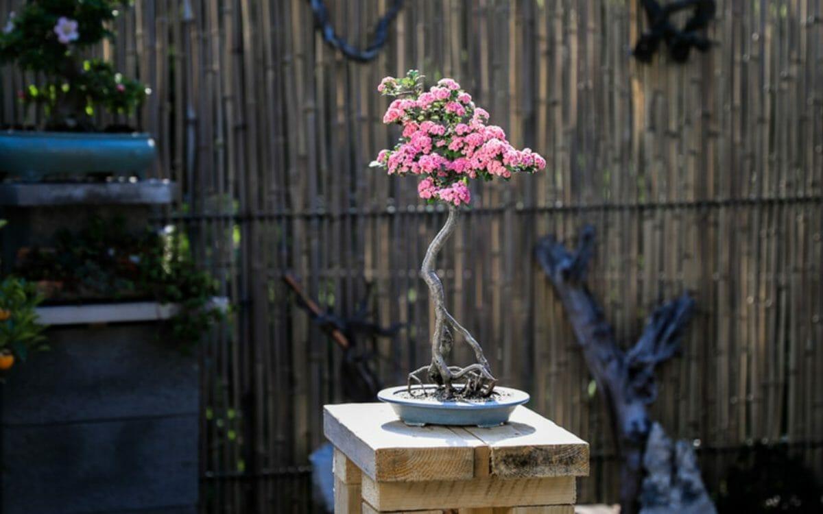 Der Weißdorn Bonsai