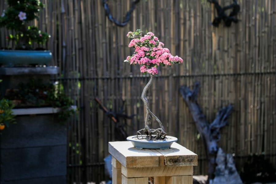 Bonsai Weißdorn Okulieren die besondere Form der Pflanzenveredelung.